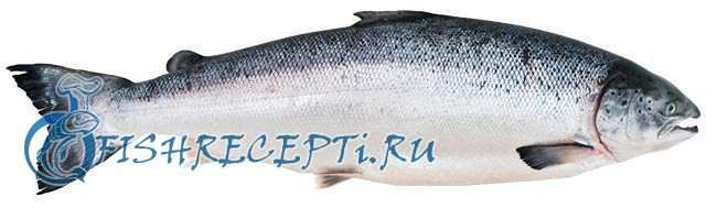 лосось и семга