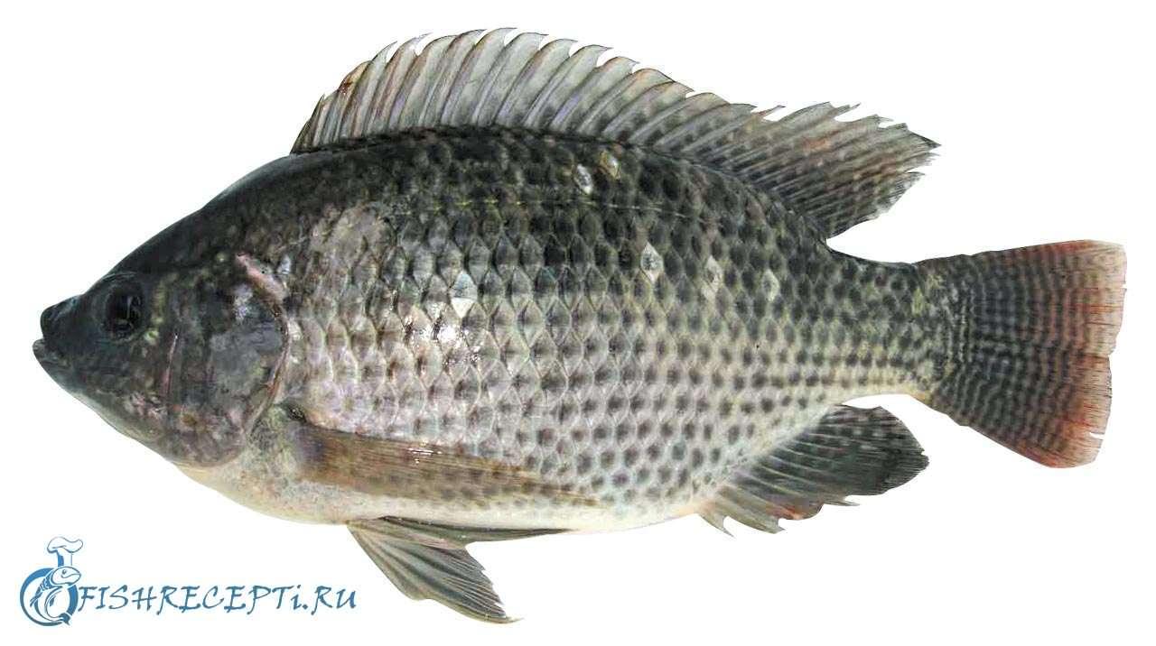 Тилапия или телапия: польза и вред, стоит ли покупать и есть эту рыбу